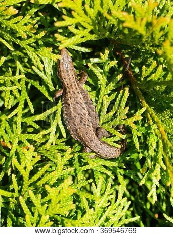 Brown Lizard On Branch, Grey Lizard Sunbathing On Branch, Lizard Climb On Wood, Jubata Lizard