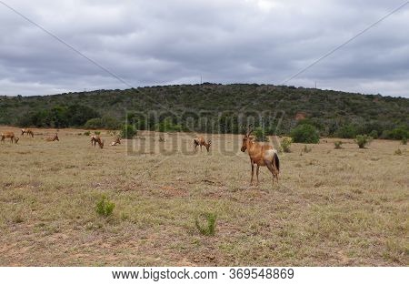Alcelaphus Cow Antelope In The Nature Reserve In The National Park South Africa