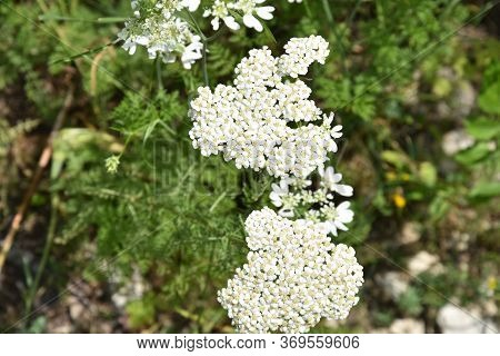 Common Yarrow Is A Flowering Plant  Om A Meadow