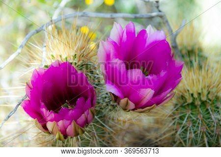 The Brilliant Purple Bloom Of The Hedgehog Cactus (echinocereus Engelmannii) With Its Petals Backlit