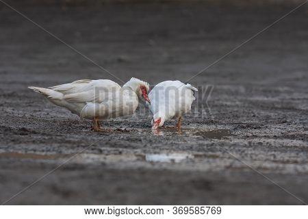 Anas Platyrhynchos F. Domestica - White Duck On A Muddy Road