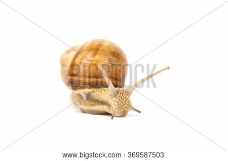 Garden Burgundy Snail, Helix Pomatia, Isolated On White For Your Creative Design. Selective Focus. M
