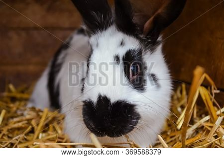 Black-and-white Rabbits On A Farm In A Wooden Cage. Breeding Rabbits. Rabbits On A Farm In A Wooden