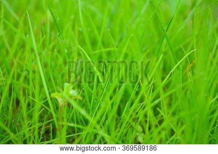 Fresh Bright Green Grass On The Lawn. Summer Grass Background - Closeup Of Fresh Bright Green Grass