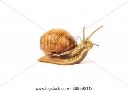 Burgundy Snail, Helix Pomatia, Isolated On White For Your Creative Design. Selective Focus. Modern B