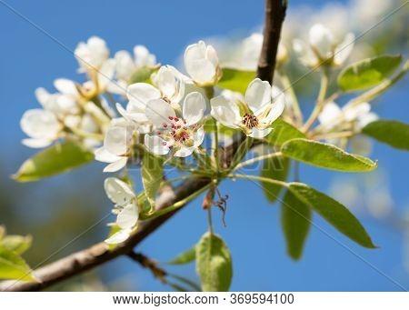 Common Pear (pyrus Domestica), Blossoms Of Springtime