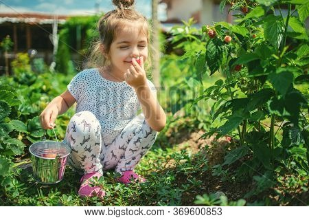Little Girl Picking Raspberries On A Farm Field. Kid Enjoying The Taste Of Organic Fruits.