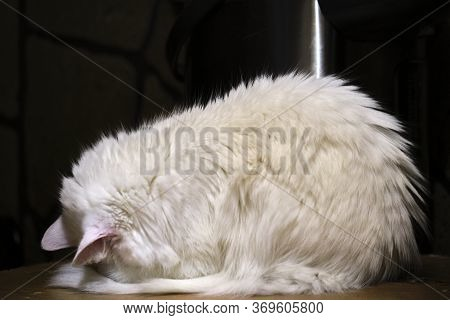 White Cat Sleeps In A Strange Pose General Plan Low Light Color