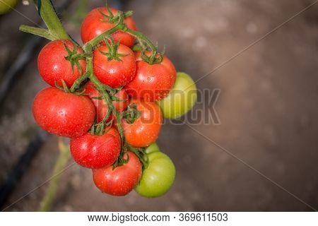 A Branch Of Fresh Tomatoes Growing In A Greenhouse.