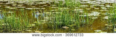 Panorama Of Small Pond With Waterlilies And Reeds. Green Reed Growing In The Pond.