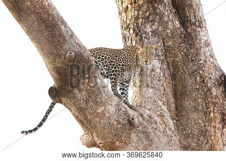 Adult Female Leopard In A Tree Isolated Against A White Background Samburu Kenya