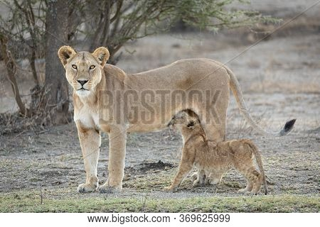 Single Adult Lioness Standing Alert As Her Cub Continues To Suckle Ndutu Tanzania