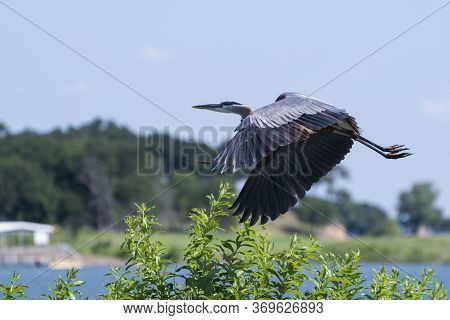 Great Blue Heron With Its Powerful Wings Curving Downward As It Takes Flight Over A Tree On A Lake S