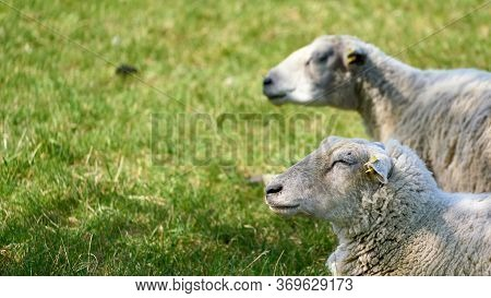 Two Sheep On A Meadow With Free Space For Text