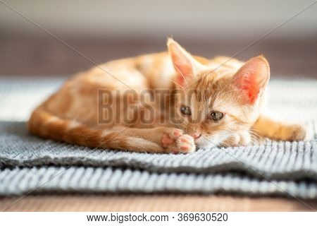 Little red kitten with blue eyes resting on sofa. Adorable little pet. Cute child animal. Tabby cat relaxing at home, natural light