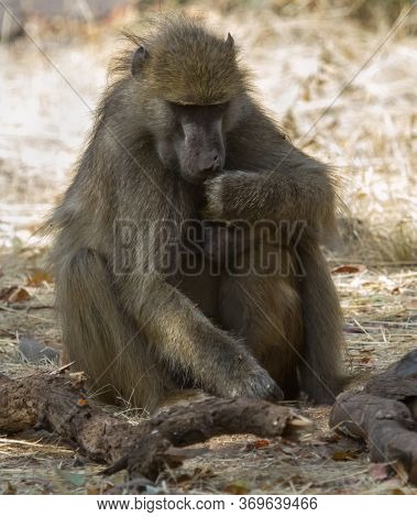 Chacma baboon mother comforts and embraces her young infant in Hwange, Zimbabwe