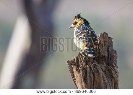 Colorful Crested Barbet (trachyphonus Vaillantii) Perched On A Tree In Hwange, Zimbabwe With Bokeh
