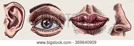Organs Anatomy Illustration. Face Detailed Kiss Or Lips And Ear, Eye Or View, Look With Nose. Human