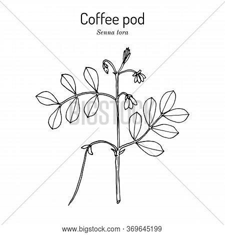 Coffee Pod Senna Tora , Or Sickle Wild Sensitive-plant, Medicinal Plant. Hand Drawn Botanical Vector