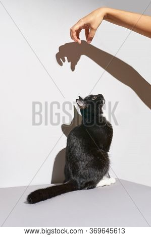 Black And White Cat Stand. Hand Frighten Pet. Hard Shadow At Wall. Grey Background, Animal Clinic Ba