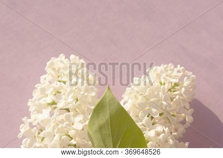 Fresh Branch Of White Lilac On Pastel Pink Background. Soft Light Color. Greeting Card. Mockup For P