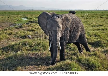 Elephant In The Wild Close Up. Large Ears, Tusks, Trunk Are Clearly Visible. The Savannah Is Covered