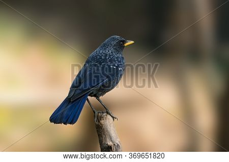 An Attractive Blue Whistling Thrush (myophonus Caeruleus), Perched On The Edge Of A Branch With Its