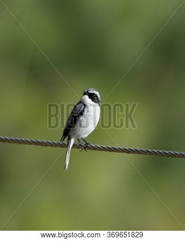 A Cute Little Male Grey Bushchat (saxicola Ferreus), Perched On A Cable In Uttarakhand In North-east