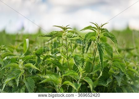 Green Raw Nettles On Blurry Background. Close Up.