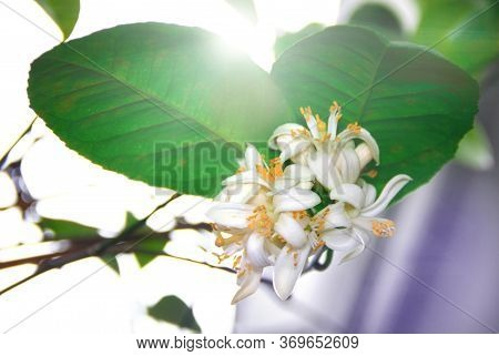 Lemon Blossom. White Flowers Bloom On A Lemon Citrus Tree On The Windowsill. Growing Exotic Plants A