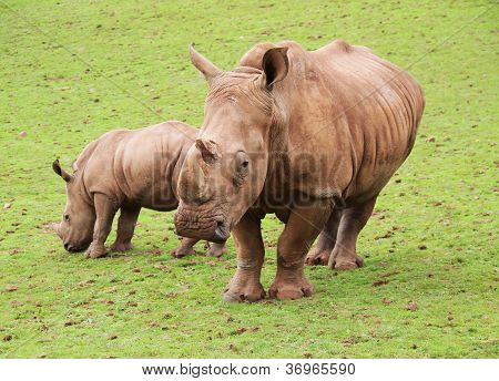Baby Black Rhino and mother