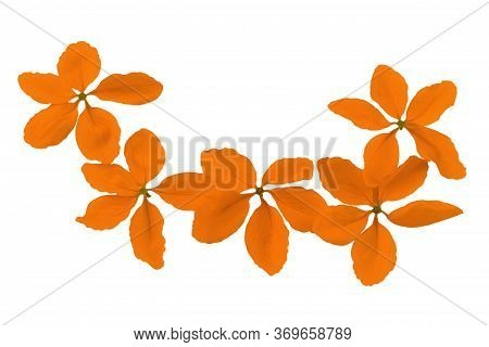 Flowers Of Cassia Fistula Or Golden Shower, National Tree Of Thailand Isolated On White Background.s