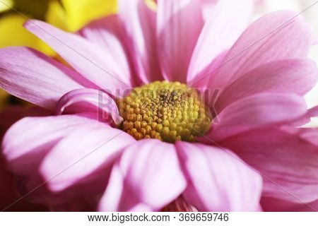 A Pink Petals Chamomile Flower. Close-up. Macro.