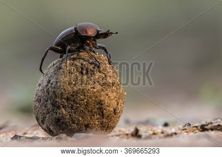 Dung Beetle On His Dung Ball To Impress The Ladies In Sabi Sands Gr,  Part Of The Greater Kruger Reg