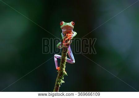 Red Eyed Tree Frog (agalychnis Callidryas) Sitting On A Branch Near Sarapiqui In Costa Rica.