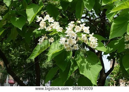 Big Leaves And Panicles Of White Flowers Of Catalpa Tree In June