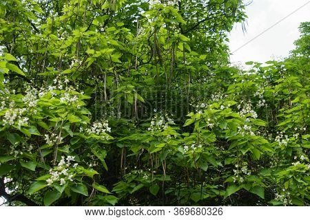 Canopy Of Blossoming Catalpa Tree In June