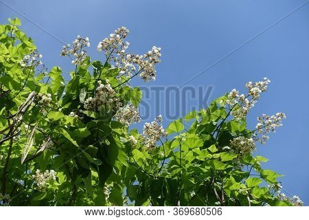 Clear Blue Sky And Blossoming Branches Of Catalpa Tree In June