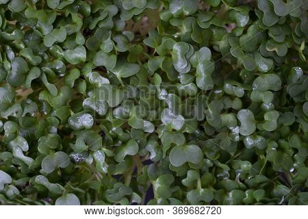 A Macro Photograph Of The Tops Of Cress