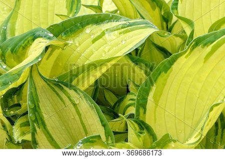 Yellow Leaves Of Hosta. Bush Of Hosta. Close Up Green Leaves. Plants Background