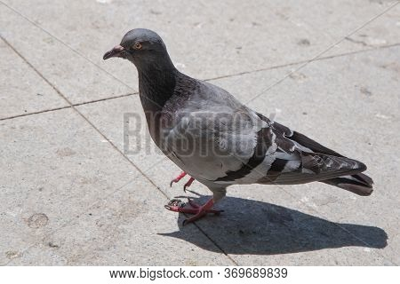 Pigeon Walking On Paving Stones In The City . One Dove Stand Up On Marble Wall . Feral Pigeons, Also