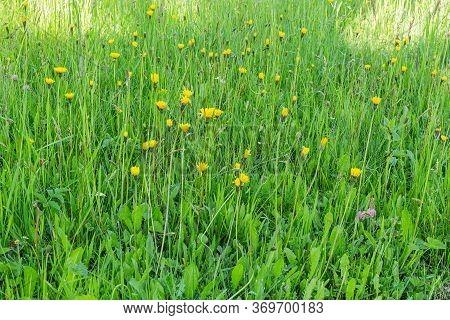 Dandelion In Green Grass. Beautiful Spring Panoramic Shot With A Dandelion Meadow. Field Of Dandelio