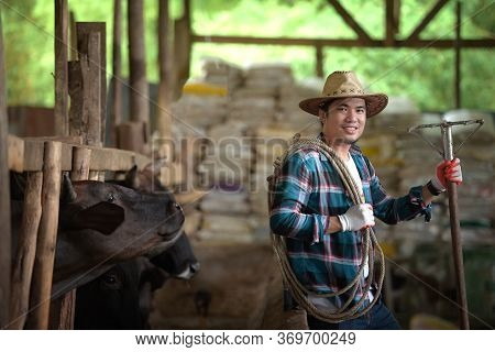 Asian People Wear Smiles In Cow Cows. Farmers Tend To Feed Ideas: People And Animals. A Young Man Or