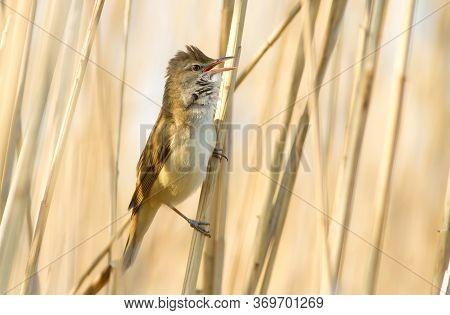 Great Reed Warbler, Acrocephalus Arundinaceus. Bird Sings Sitting On A Reed