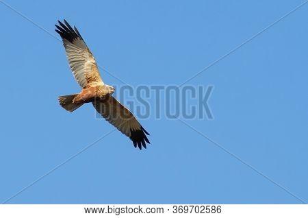 Marsh Harrier. Bird Flies Against The Sky