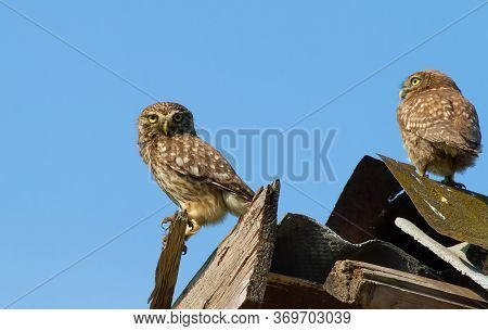 Little Owl, Athene Noctua. Adult Bird And Her Chick Are Sitting On The Decrepit Roof Of An Abandoned