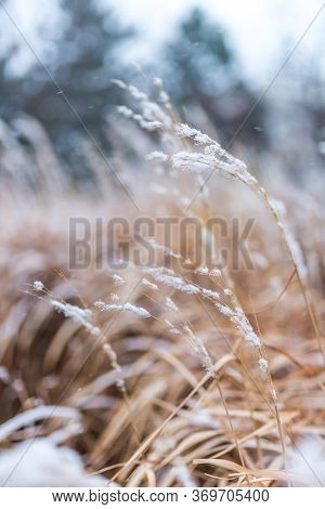 Winter Detail. Dry Wild Flowers Covered With Fresh Snow With A Blurred Background In A Cold Day