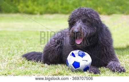 A Black Dog A Mixture Of A Catalan Sheepdog And A Water Dog Lies On A Green Lawn In The Backyard Wit