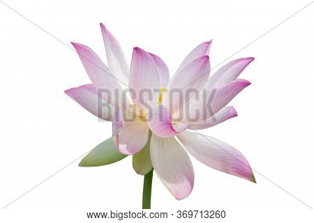 Beautiful Bright Pink Nelumbo Komarovii Flower On A Clear Sunny Day Isolated On A White Background.