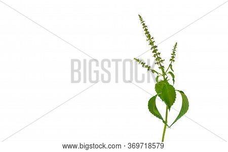 Holy Basil Vegetable Isolated On White Background. Pile Of Sacred Basil Leaves Plant Isolated